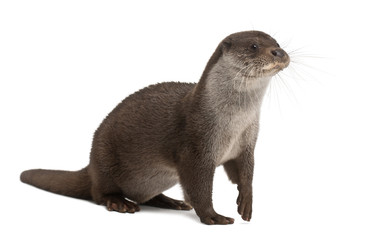European Otter, Lutra lutra, 6 years old