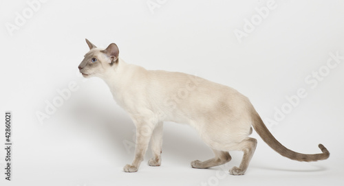 Siamese cat against white background
