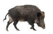 canvas print picture Wild boar, also wild pig, Sus scrofa, 15 years old