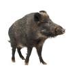 Leinwanddruck Bild - Wild boar, also wild pig, Sus scrofa, 15 years old