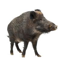"""Постер, картина, фотообои """"Wild boar, also wild pig, Sus scrofa, 15 years old"""""""