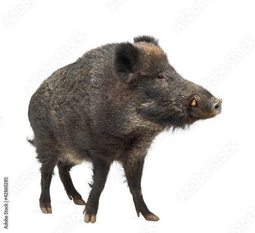 Wild boar, also wild pig, Sus scrofa, 15 years old - 42860285
