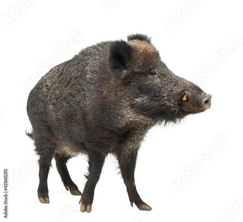 Leinwanddruck Bild Wild boar, also wild pig, Sus scrofa, 15 years old