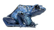 Female Blue and Black Poison Dart Frog with young