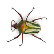 Male Flamboyant Flower Beetle or Striped Love Beetle