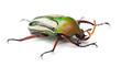 Male Flamboyant Flower Beetle or Striped Love Beetle