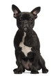 French bulldog puppy, 5 months old, portrait