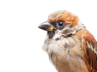close up of a young sparrow