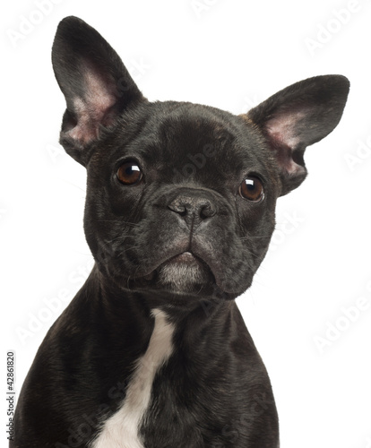 French bulldog puppy, 5 months old