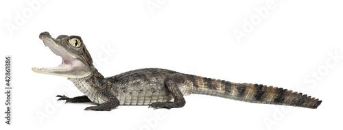 Foto op Plexiglas Krokodil Spectacled Caiman, Caiman crocodilus