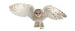 canvas print picture - Barn Owl, Tyto alba, 4 months old