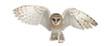 Barn Owl, Tyto alba, 4 months old - 42862264