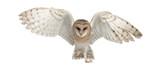 Barn Owl, Tyto alba, 4 months old - Fine Art prints