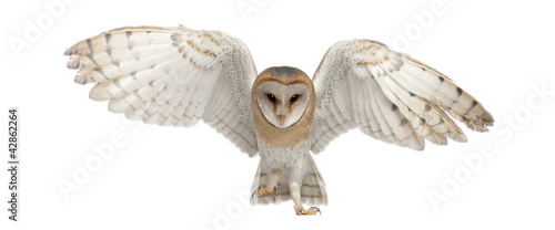 canvas print picture Barn Owl, Tyto alba, 4 months old