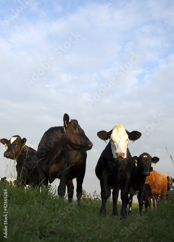 cows in a dutch landscape