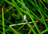 young wasp spider in typical strengthened web poster