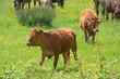 cows in flowery meadow