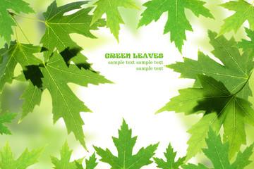 Green maple leaves border over white. Natural frame
