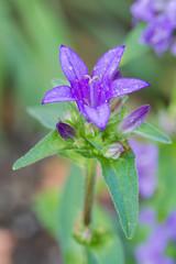 Knäuel-Glockenblume (Campanula glomerata), blau