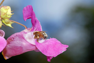 Himalayan Balsam And Hover Fly