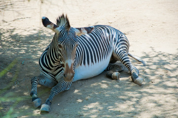 Zebra at Zoo of Los Angeles