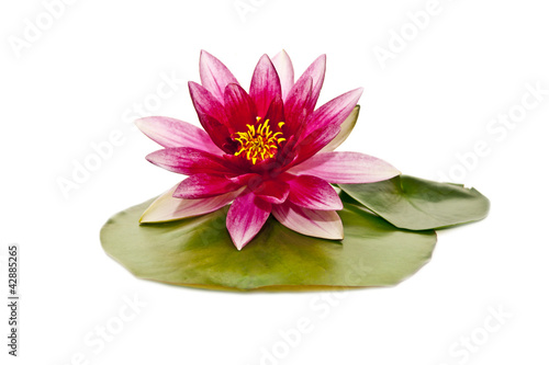 Aluminium Lotusbloem water lily on white beautiful flower