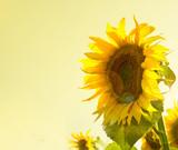 Fototapeta piękny - nasienie - Zboże