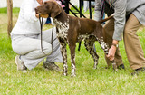 German shorthaired pointer being judged at dog show.