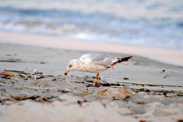 Beached Hungry Seagull