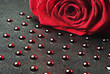 Rose with red drops