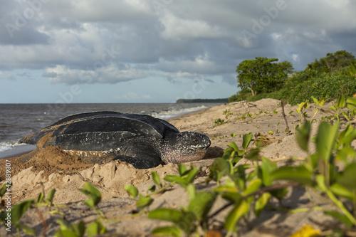 Tortue luth sur son site de ponte en Guyane Française - 42889807