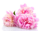 pink peonies flowers isolated on white - 42891827