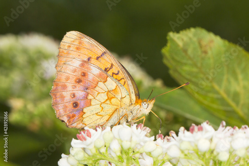 Marbled Fritillary Butterfly (Brenthis daphne) on a white flower