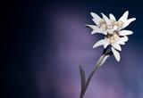 Edelweiss vor dunklem Hintergrund