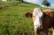 Kühe mit Glocke VI