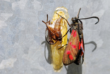 Burnet Moth Emerging From Chrysalis