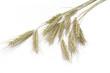 Leinwanddruck Bild - Roggen (Secale cereale)