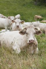 Vaches et veaux des alpes dans un prés