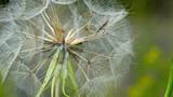 Wiesen-Bocksbart (Tragopogon pratensis) - 42896477