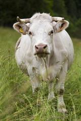 Vache laitière bio