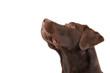 Brown labrador looking up