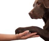 Dog paw and human hand doing a handshake - 42897874