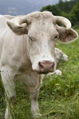 Vache qui fait un clin d'oeil
