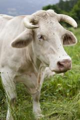 Vache laitière des alpages