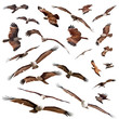 various Brahminy Kite isolated