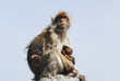 Mother Ape With Baby Breastfeeding On Rock At Gibraltar