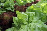 Salade plante