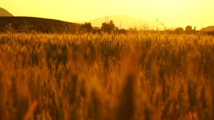 golden wheat in the sunset