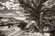 Yosemite - old tree, bw