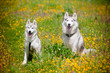 two grey siberian huskies on a flower field